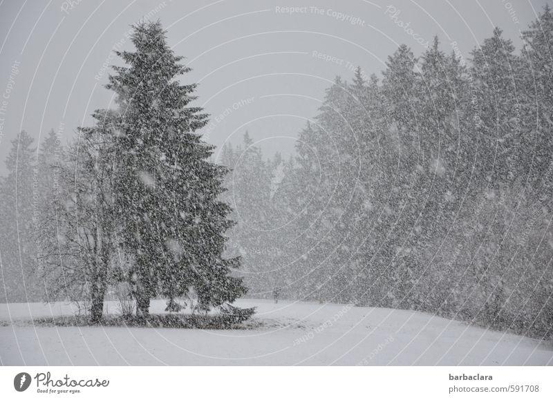 Schwarzwald at its best 1 Mensch Landschaft Winter Schnee Schneefall Baum Wald Hund hell kalt viele grau weiß Stimmung Freude ruhig Bewegung Erwartung Idylle