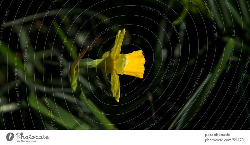 Osterglockenzeit grün Sonne Blume Frühling Garten Linie Rasen perfekt Narzissen ausrichten Gelbe Narzisse