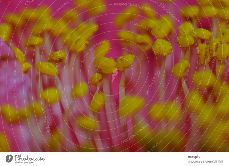 Camelia ganz nah Blume Pflanze Sommer gelb Blüte Frühling rosa nah Pollen