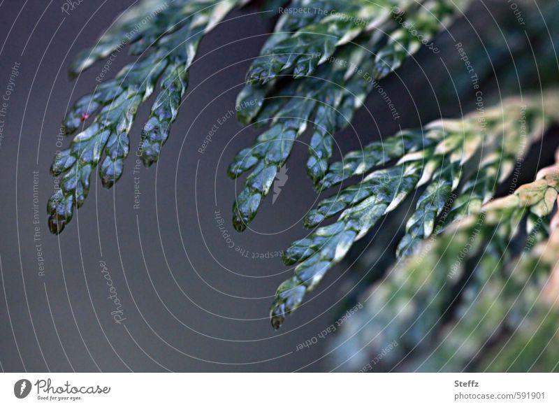 Heckenpflanze Thuja Immergrün dunkelgrün Wildpflanze Thujen Duft Lebensbaumblätter Zweig Immergrüne Pflanzen immergrüne Blätter Grünpflanze Blattgrün