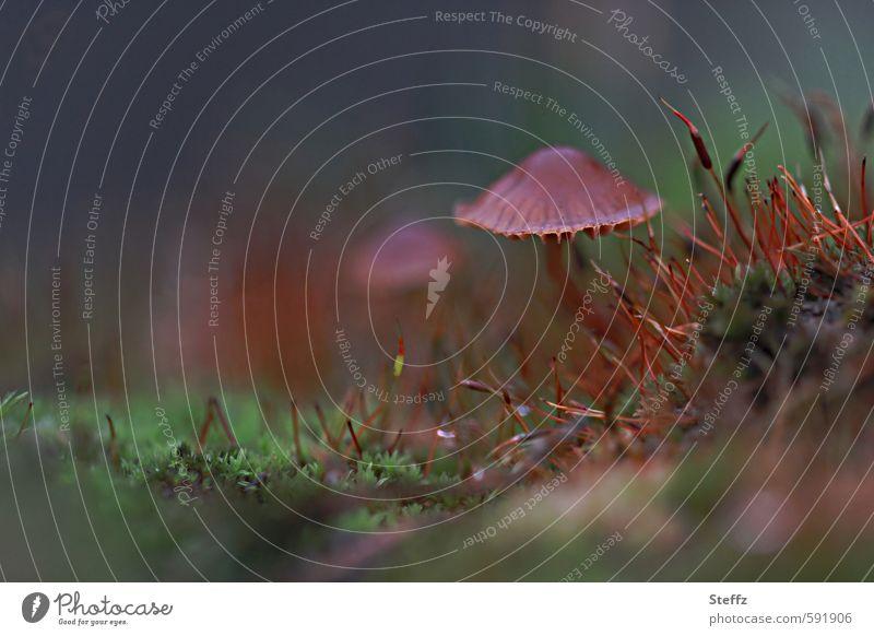 vom Moos und Pilz Natur Pflanze Herbst Wald Waldboden Wachstum klein braun grün Waldstimmung Pilzhut Moosteppich Vor dunklem Hintergrund braun-grün herbstlich