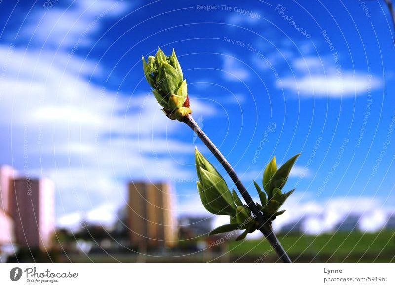 Frühlingsknospe grün Wolken Blütenknospen Himmel blau Landschaft Natur