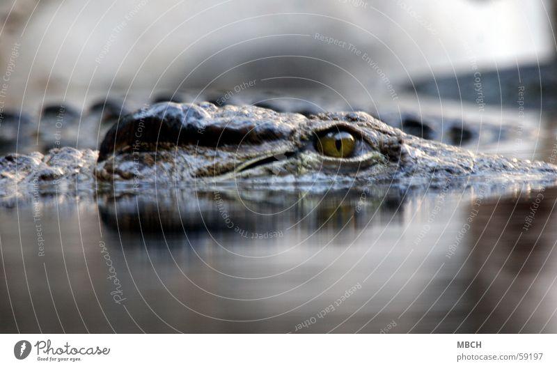 Auf der Lauer Krokodil Kamelhöcker Wasseroberfläche verdeckt Tier gefährlich Auge Scheune Zacken Wildtier
