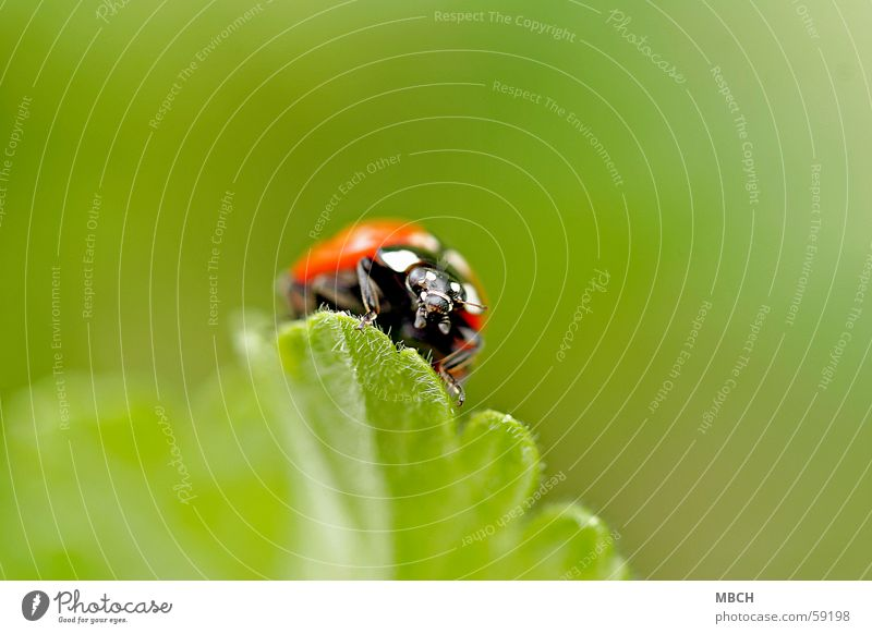 Auf Wanderschaft weiß grün Blatt schwarz Tier Beine orange Insekt Käfer Marienkäfer Fühler Zacken