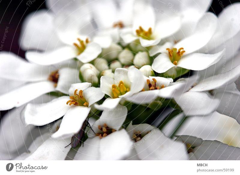 Für die Hochzeit :-) Blume weiß gelb Blüte geschlossen grün Käfer offen Stempel