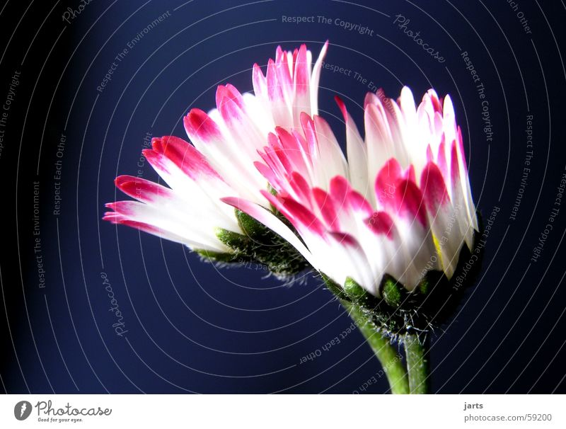 Gänseblümchen schön Blume Wiese Frühling Blüte Blütenblatt