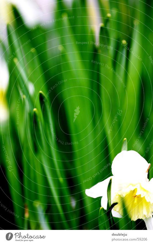 lust auf frühling weiß grün Sommer Gras Frühling Narzissen