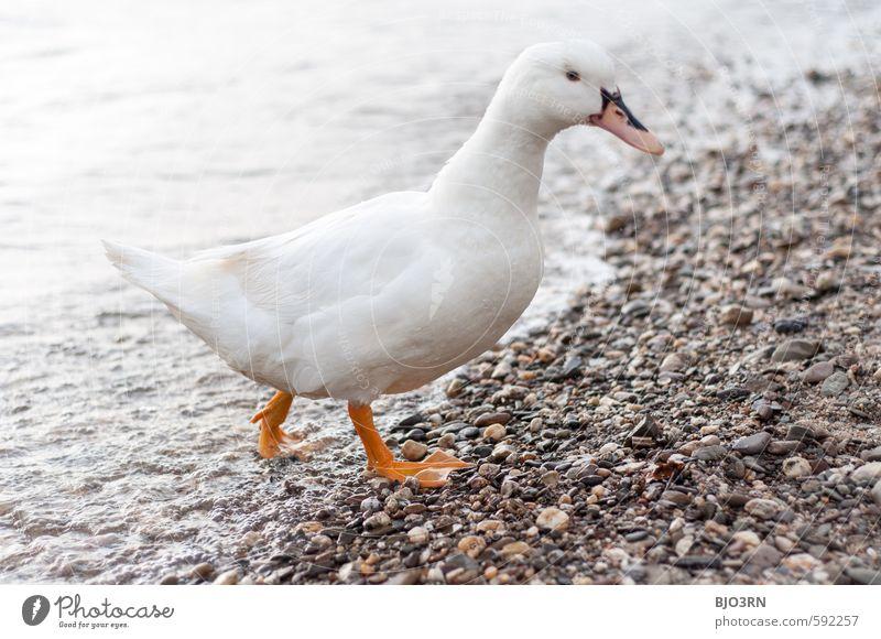 Rhein raus Umwelt Wasser Fluss Tier Vogel Hausente 1 Schwimmen & Baden gehen laufen frech nah nass Neugier niedlich wild watscheln Schnabel Flosse pitsch patsch
