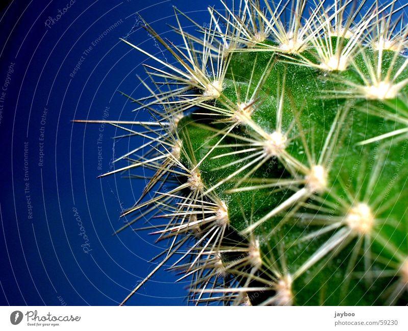 Scharf gestochen grün Kaktus groß frisch Außenaufnahme Makroaufnahme Nahaufnahme Sommer Wüste blau Himmel Stachel Spitze Scharfer Gegenstand