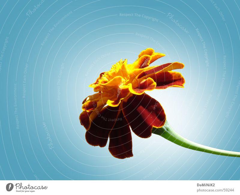 Blümchen vor weißem Schimmer Natur schön Blume Blüte braun Blütenblatt Blütenstiel Wolkenloser Himmel Tagetes