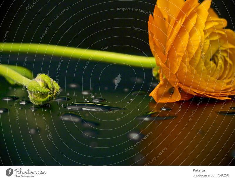 Blume mit Tropfen Wasser grün Pflanze schwarz gelb orange Wassertropfen Tau