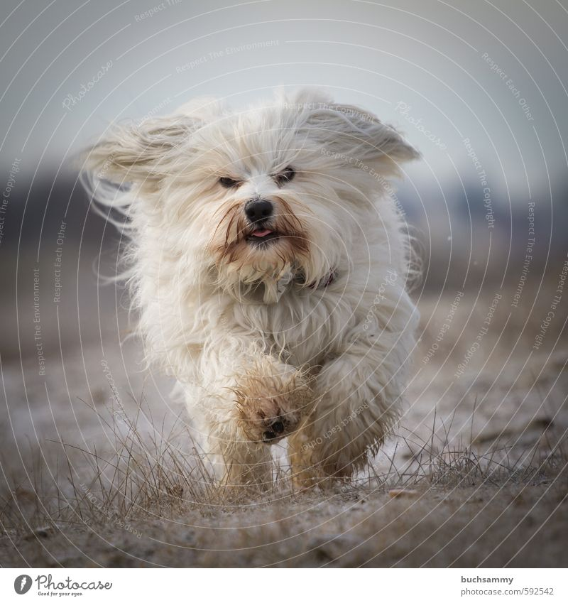 Lustiger Havaneser Freude Winter Natur Herbst Sträucher Blatt weißhaarig langhaarig Tier Haustier Hund 1 laufen kalt klein Geschwindigkeit Stimmung Bichon