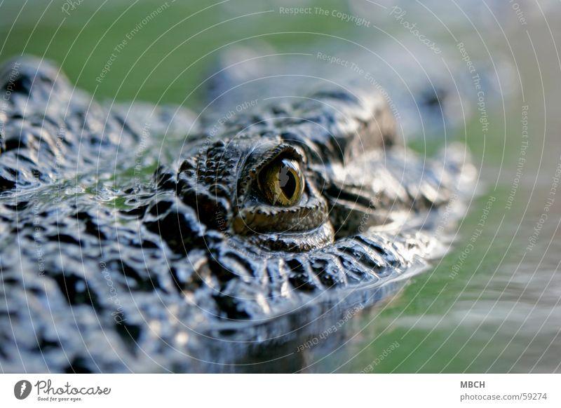 Auge in Auge mit der Gefahr Krokodil Wasseroberfläche Pupille Tier gefährlich Wildtier Tiergesicht Tierporträt Blick in die Kamera Urzeit Anschnitt