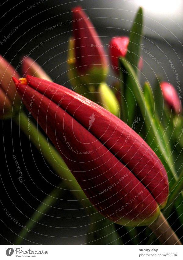 Diagonal Blume Pflanze rot Blüte diagonal Tulpe