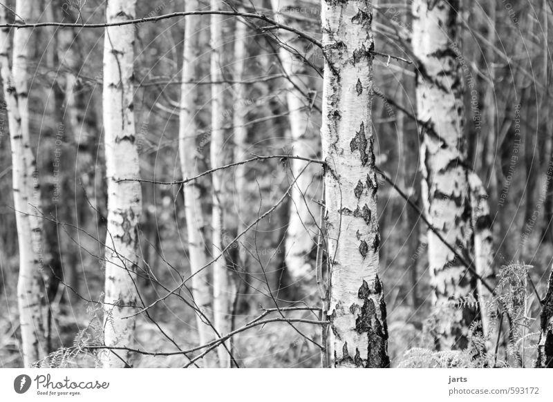 bäume Natur Pflanze Baum ruhig Winter Wald Umwelt natürlich einfach Birkenwald