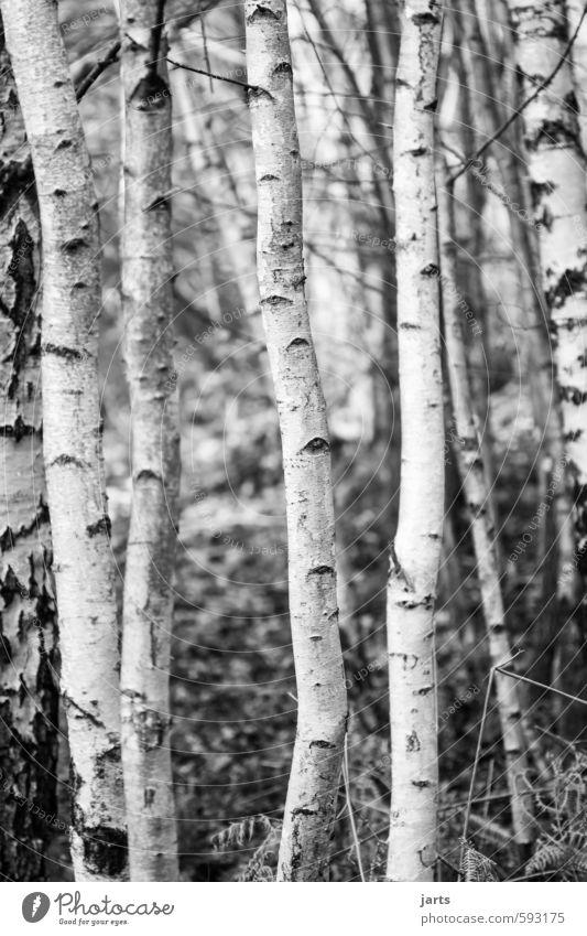 bohnenstangen Umwelt Pflanze Winter Baum Wald natürlich weiß Natur Birke Birkenwald Schwarzweißfoto Außenaufnahme Menschenleer Tag Schwache Tiefenschärfe