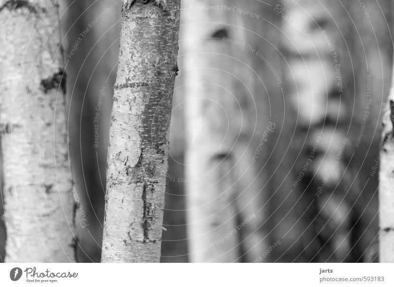 birken Natur weiß Pflanze Baum ruhig Winter Wald natürlich einfach Hoffnung Gelassenheit Baumstamm Vorsicht Birkenwald