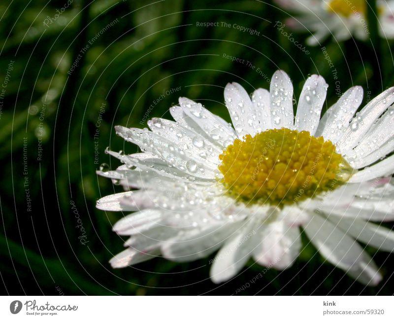 Frühlingstau Wasser Blume Pflanze gelb Gras Wassertropfen Seil