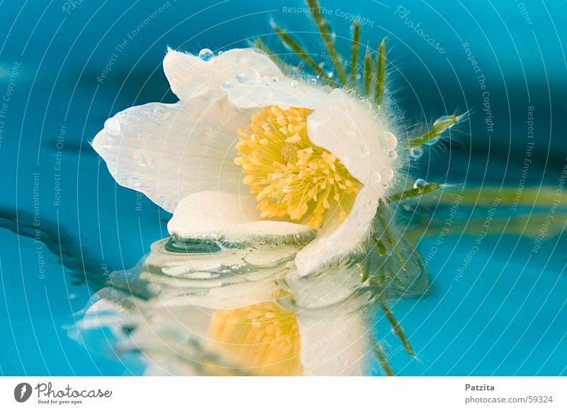 Schneerose Wasser weiß Blume grün blau Pflanze gelb Wassertropfen Spiegel Tau Kuhschelle Christrose