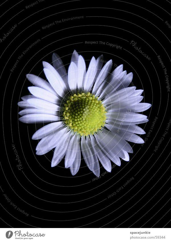 Baldurs Auge weiß Blume schwarz gelb Blüte Frühling Gänseblümchen