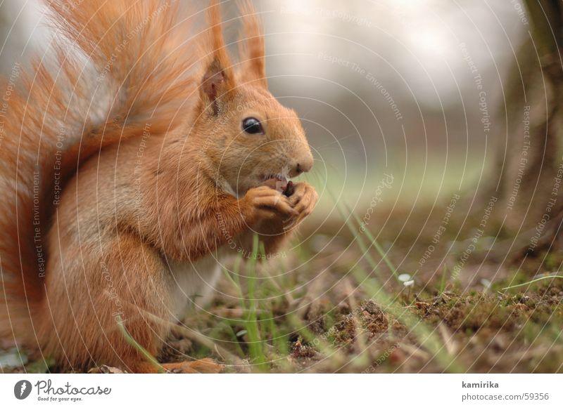 mampf Eichhörnchen Wald Park Wiese Gras Nuss Fressen Ernährung Tier Holzmehl Natur süß klein rot Geschwindigkeit Haare & Frisuren Halm deniren Wildtier squirrel