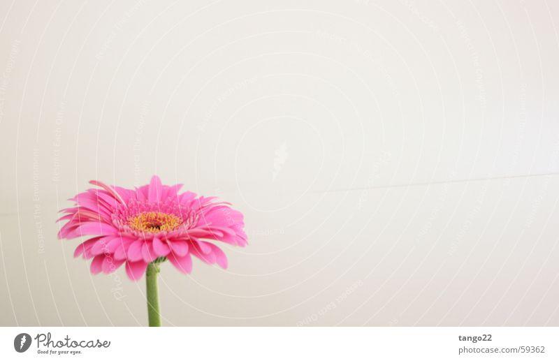 magenta flower Blume Blüte rosa Stengel Gerbera Vor hellem Hintergrund