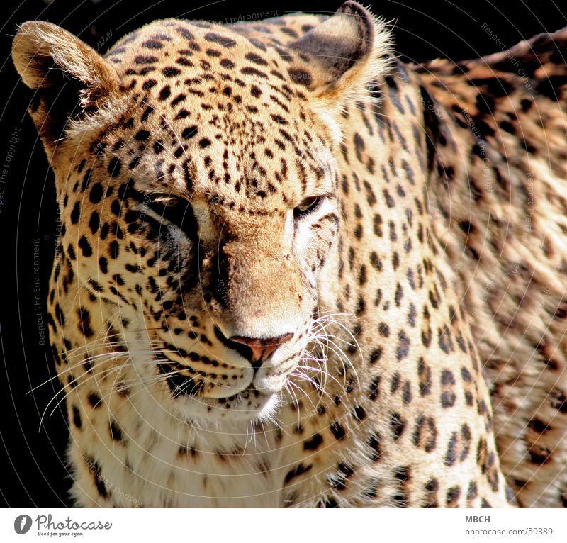 Traurig Leopard Muster Raubkatze Tier Fell Schnauze Schnurrhaar dunkel schwarz beige braun weiß Punkt Nase Ohr Sonne Schatten hell Auge