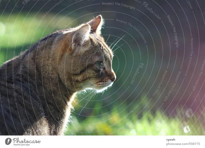 im Visier Katze Natur schön ruhig Tier Wärme Gras Garten träumen wild leuchten warten Schönes Wetter Energie genießen beobachten