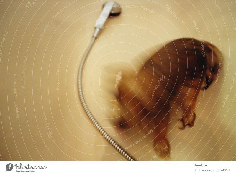 Hundewäsche Duschkopf Badewanne Fell schütteln Sauberkeit nass Wasser Unter der Dusche (Aktivität)
