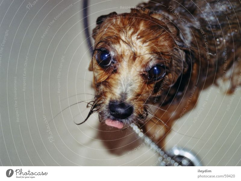 Schleck Wasser Hund nass niedlich Fell Badewanne Zunge Waschen lutschen Hundeblick Unter der Dusche (Aktivität)