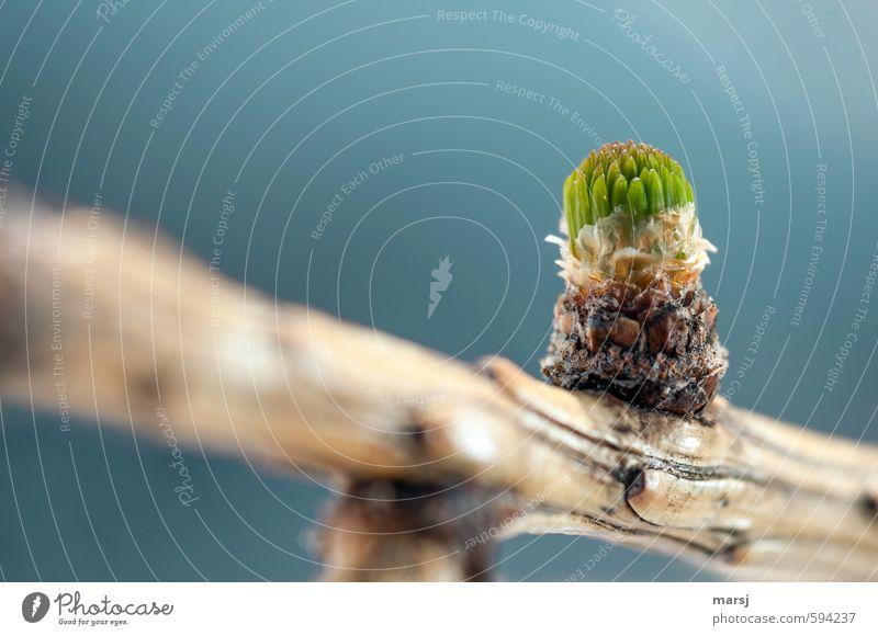 Das erste Grün Natur Pflanze Himmel Frühling Schönes Wetter Baum Grünpflanze Wildpflanze Lärchenknospe Ast Wachstum frisch gigantisch natürlich neu saftig blau