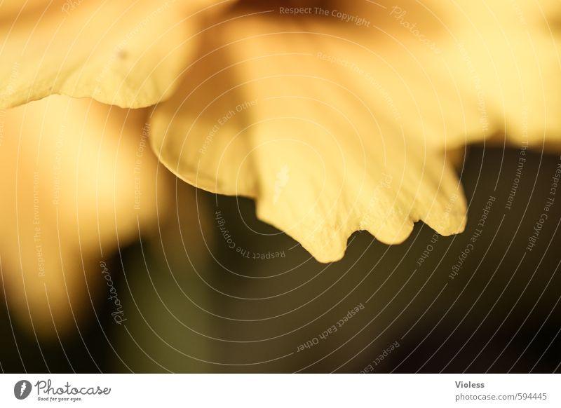 up and down Natur Pflanze Blume Blüte Duft natürlich gelb Blütenblatt Detailaufnahme Makroaufnahme abstrakt Unschärfe