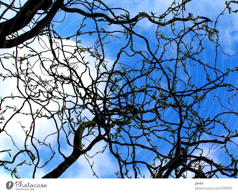 Blauer Himmel Korkenzieher-Weide Wolken Baum wiede blau Ast jarts