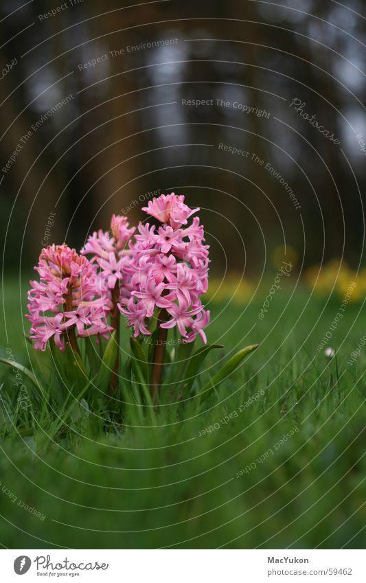 Hyazinthen Blume Pflanze rosa