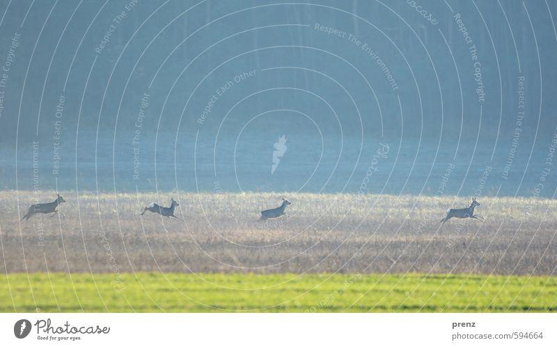 Vier Rehe Umwelt Natur Landschaft Tier Wildtier 4 Tiergruppe blau grün springen Flucht Farbfoto Außenaufnahme Menschenleer Textfreiraum oben Tag Unschärfe