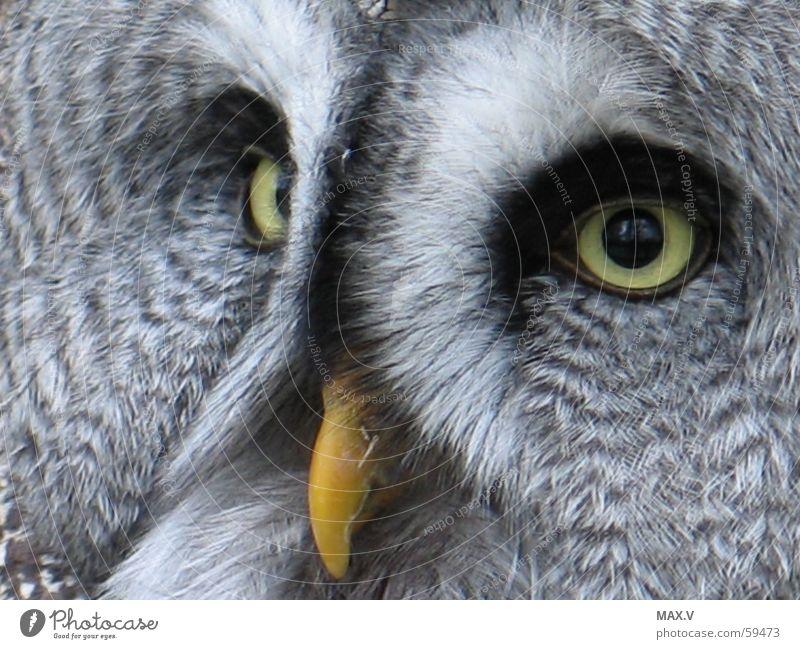Hilfe weiß schwarz Auge Tier grau Vogel fliegen Feder Eulenvögel Kauz Schnabel Bartkauz