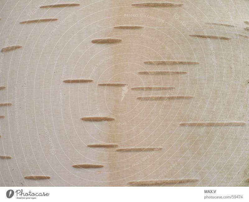 Schutz Baum Pflanze frisch Baumrinde Birke Bedecktsamer Pionierpflanze Birkenrinde
