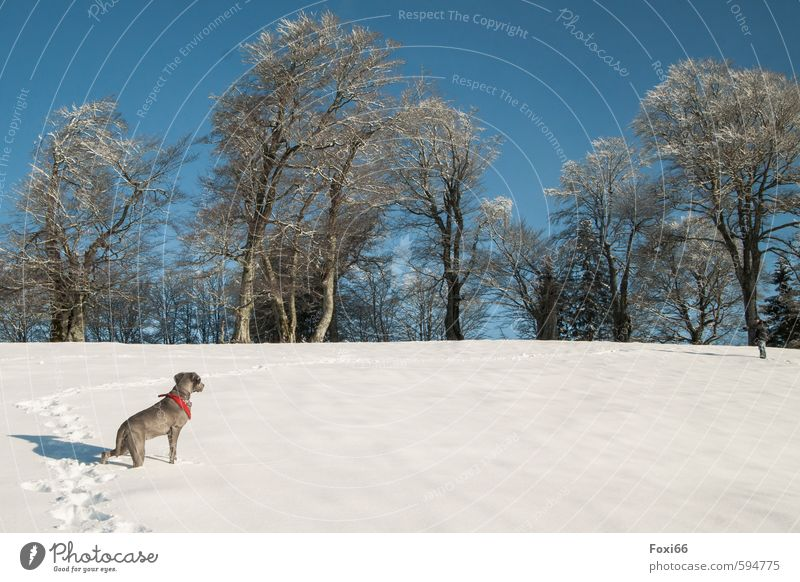 Spuren verfolgen.... Landschaft Himmel Winter Eis Frost Schnee Bäume Wiese Hügel Berge u. Gebirge Hund 1 Tier beobachten genießen Spielen toben kalt blau braun