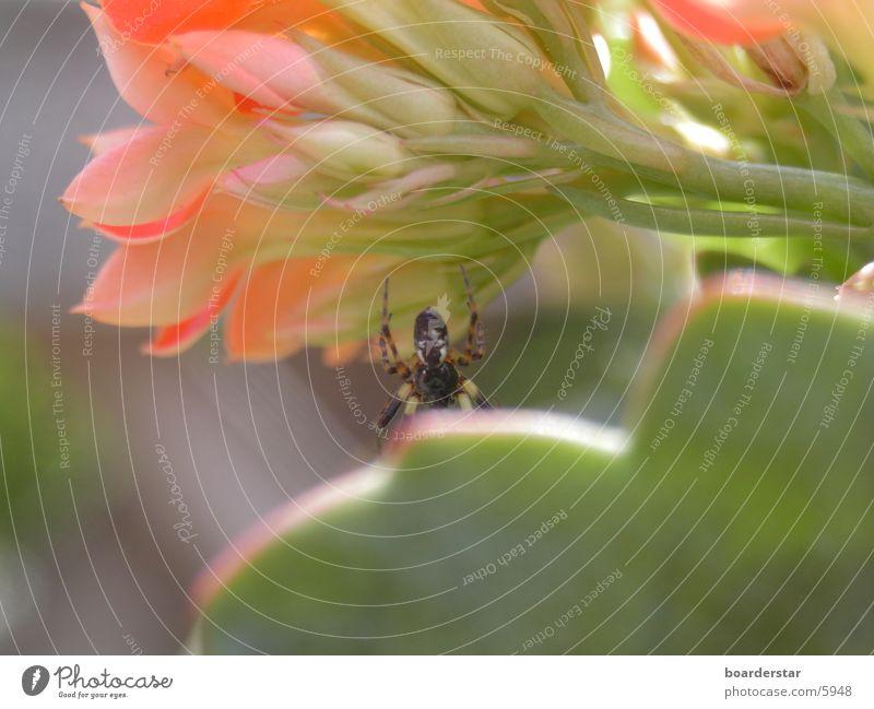 Spider Man Spinne Blume Verkehr Nahaufnahme Sonne