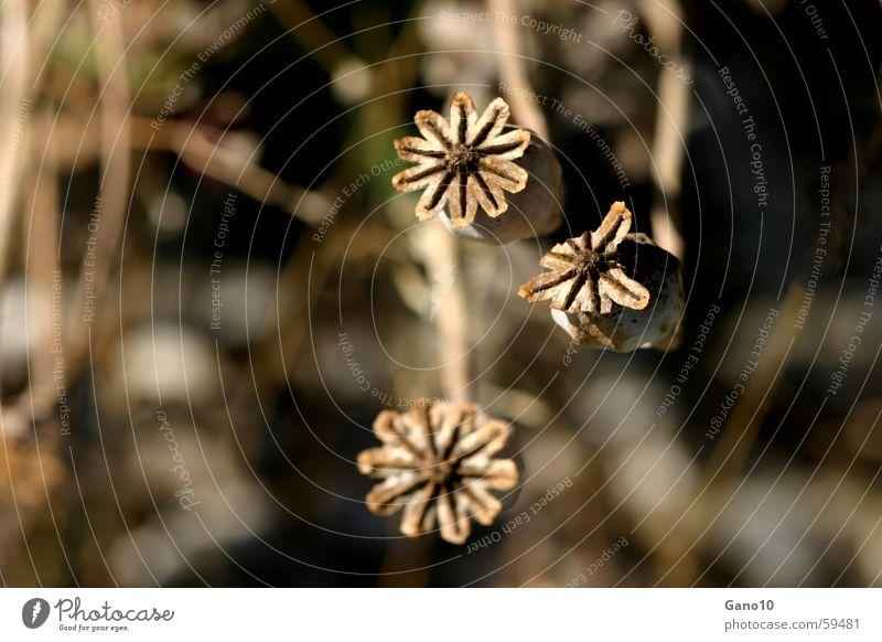 Mohnkapseln alt Pflanze dunkel Herbst braun 3 Stern (Symbol) Suche verblüht Abhängigkeit