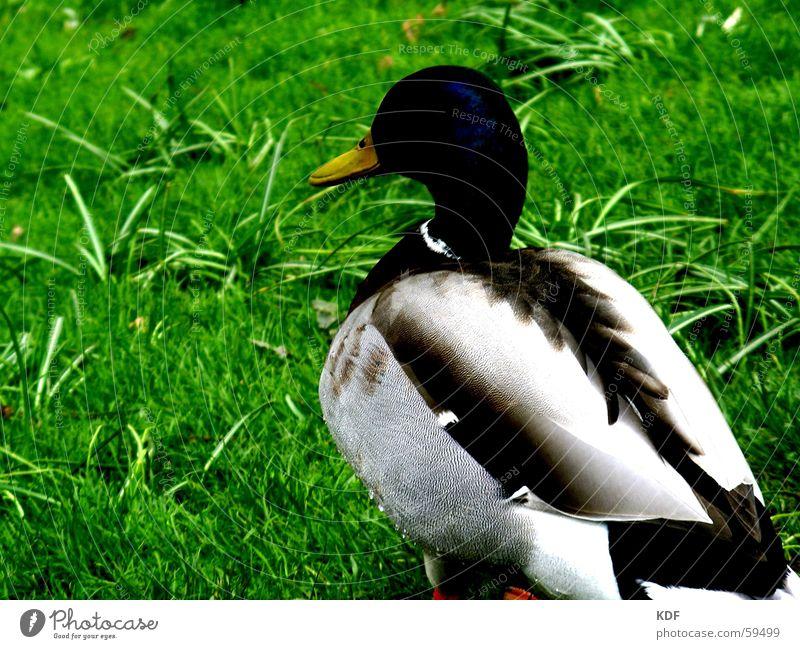 Ostererpel Erpel Wiese Vogel Bremen Frühling März April Mai grün saftig lecker Ente grass Wegsehen kdf Fett