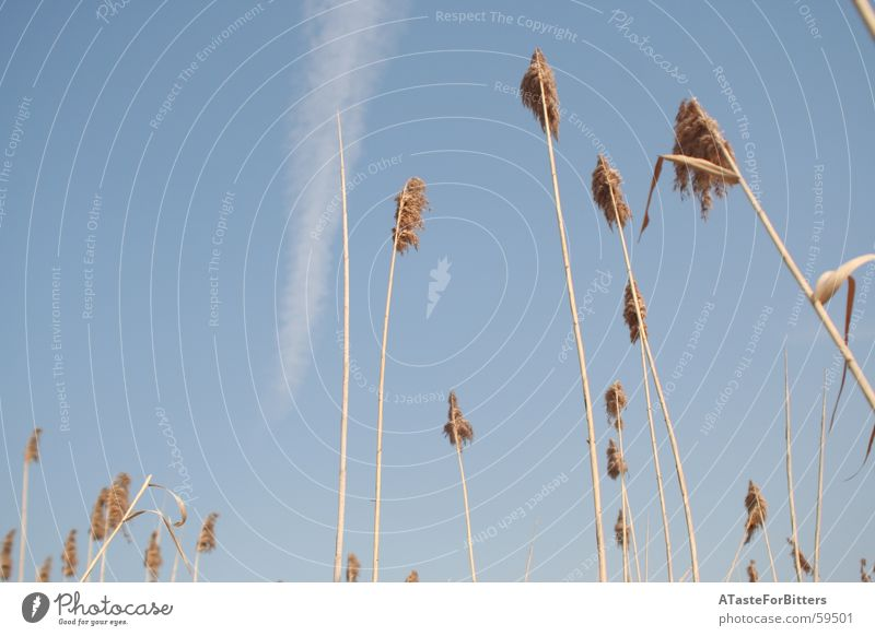 in den Himmel Kondensstreifen Feld Schilfrohr Wiese Wolken Außenaufnahme blau Getreide Natur Freiheit Dynamik Ferne