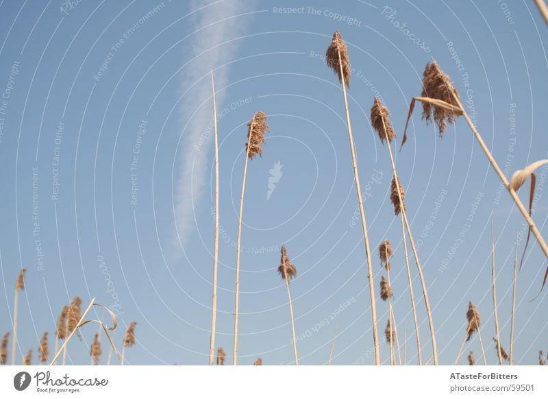 in den Himmel Natur Himmel blau Wolken Ferne Wiese Freiheit Feld Getreide Dynamik Schilfrohr Kondensstreifen