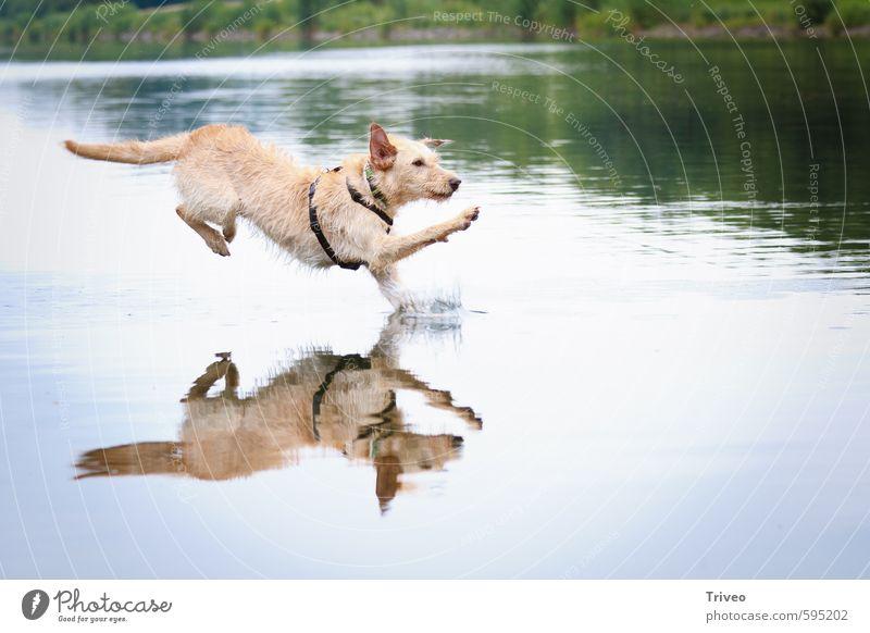 Wasserlauf Hund blau grün Freude Tier Bewegung Sport springen braun Kraft wild Erfolg ästhetisch Coolness Lebensfreude