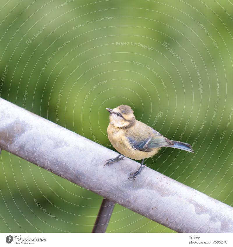 Vogel mit Perspektive Natur blau grün Tier klein braun sitzen warten Feder Neugier