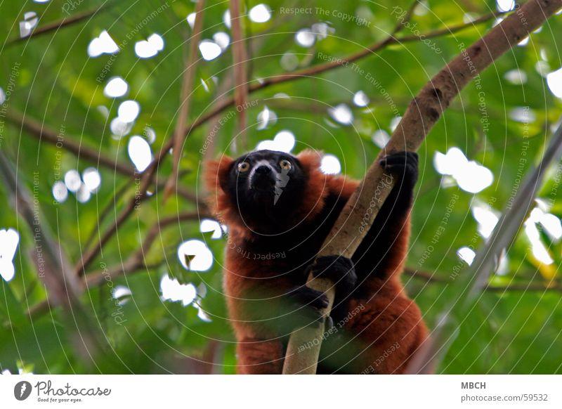 Ausschau halten grün rot schwarz Tier gelb braun Affen Finger Klettern beobachten Ast Fell festhalten Halbaffe Vari