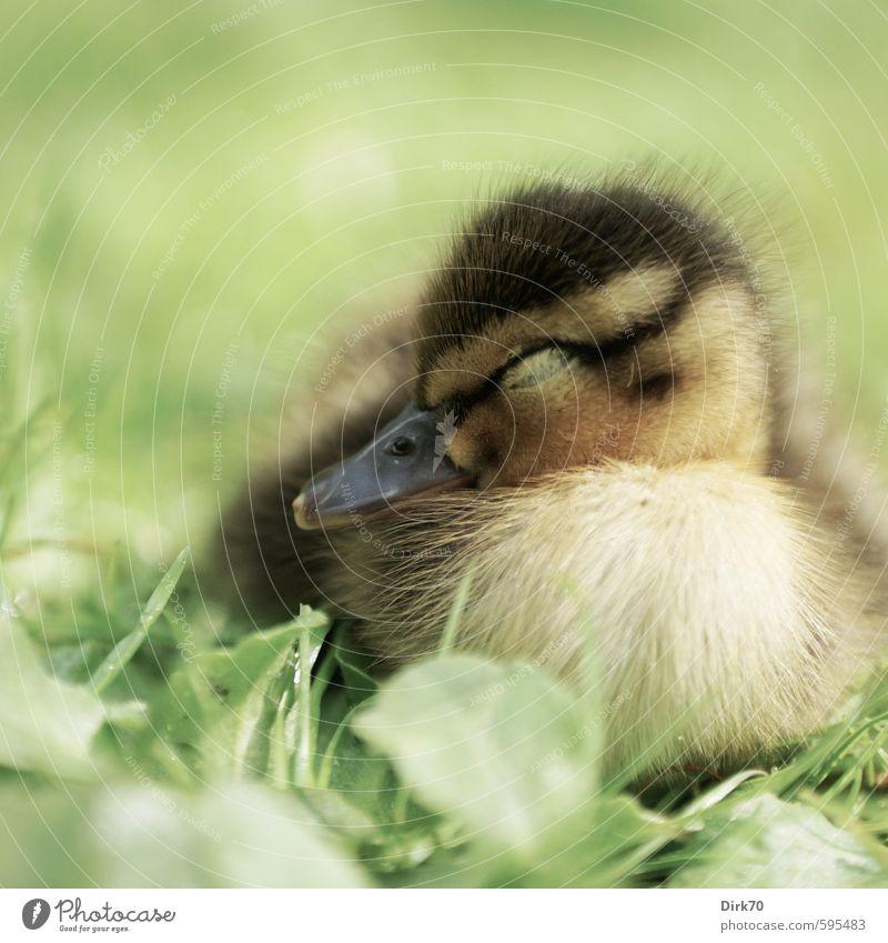 Süße Träume grün Pflanze ruhig Tier schwarz gelb Tierjunges Leben Wiese Gras Frühling braun liegen träumen Vogel Park