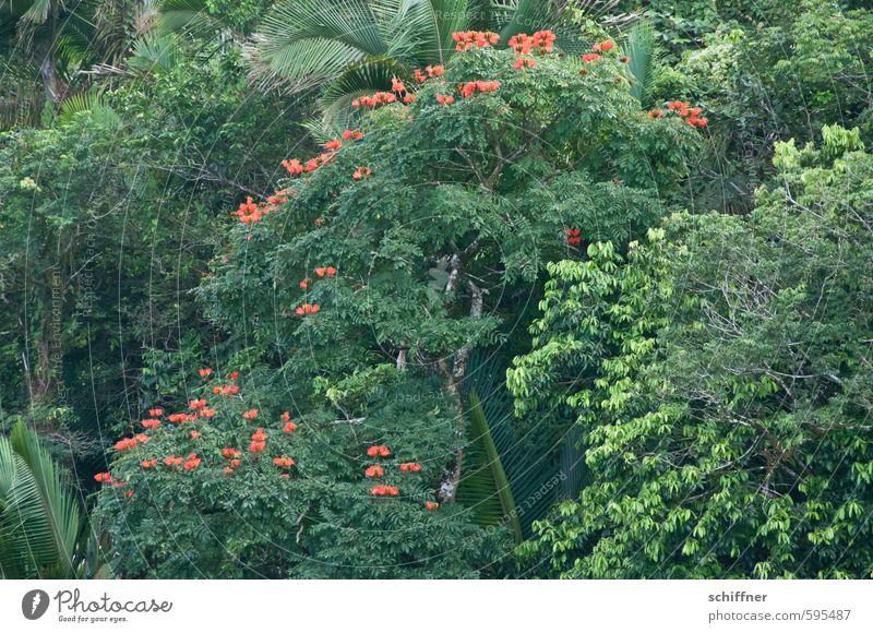 Erstes 2014 | Tulpenbaum Natur Pflanze Baum Sträucher Blatt Blüte Grünpflanze exotisch Wald Urwald grün rot Palme Blütenpflanze Tulpenblüte Unterholz Karibik