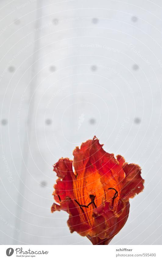 Tulpe Pflanze Blume Blüte exotisch orange rot Blütenblatt Blütenpflanze Blütenstempel Blütenkelch leuchtende Farben Tulpenbaum Punkt Innenaufnahme Menschenleer