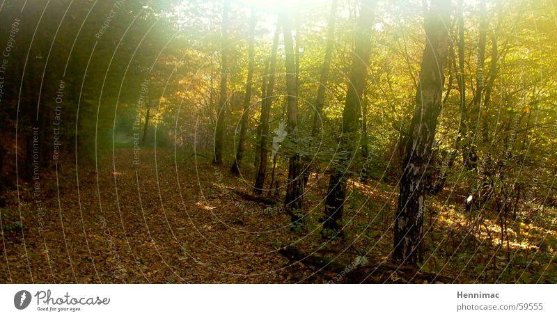 Vergoldeter Wald. Baum Sonne Einsamkeit Blatt Farbe Erholung gelb kalt Herbst Holz Wege & Pfade Luft träumen Beleuchtung braun